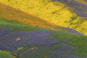 http://abcnews.go.com/Lifestyle/amazing-super-bloom-central-california/story?id=46658499